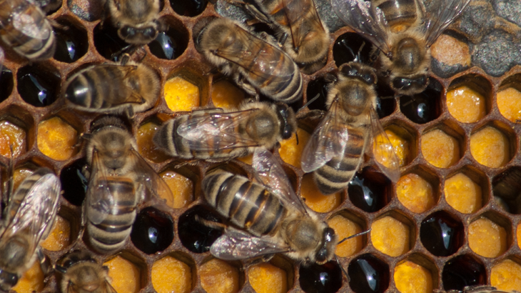 Arılar petek üzerinde çalışıyor. Peteklerde bal ve polen var.